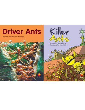 Driver Ants / Killer Ants